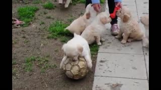 Adorable Golden Retriever puppies play with soccer ball