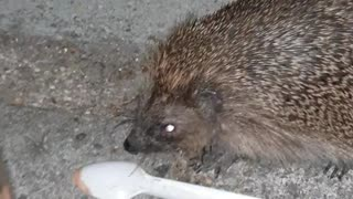 Helping a Hedgehog with His Head Stuck