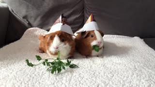 Adorable little guinea pigs enjoy a snack