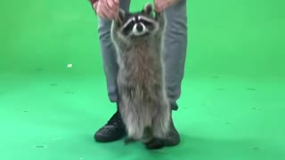 Raccoon Loves to Jump