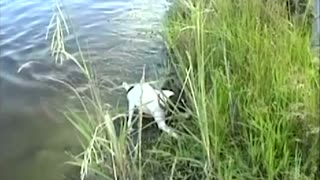 Tiny Swimming Terrier Catches Decent Sized Fish In Lake - Video