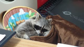 Raccoon is about to lie in the baby reclined cradle and sleep with a blanket.