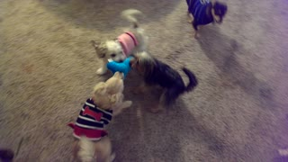 All-out battle for chew toy between four tiny dogs