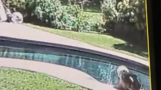 Dog walking along pool and slips and falls in