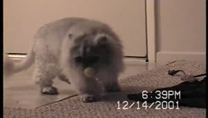 Cat loves playing classic dog game - Video