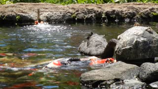 Black Swan Feeds Koi Fish