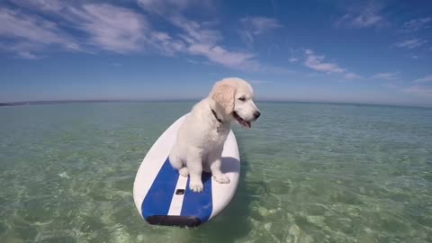 Adventurous Golden Retriever loves paddle boarding