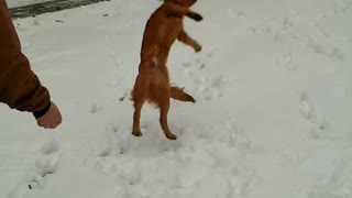 Collab copyright protection - golden retriever misses catch snow - Video