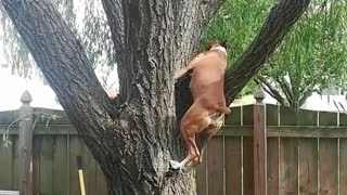 Boxer Thinks it's a Squirrel