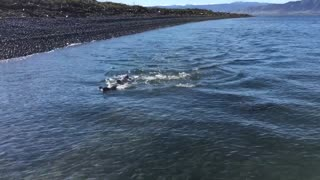 Family of Seals Swim Together - Video