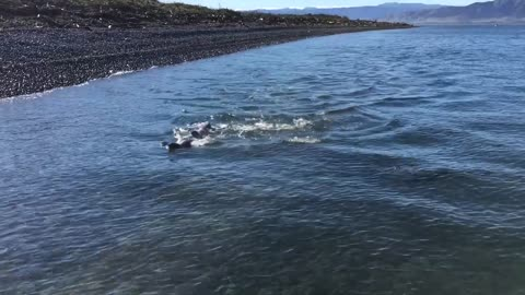 Family of Seals Swim Together
