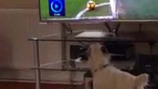 like a dog watching football