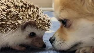 hedgehog play with puppy the eye game  - Video