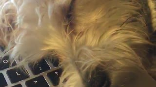 White dog falls asleep on keyboard  - Video