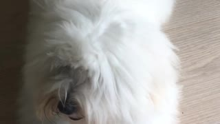 Fluffy White Dogyy - Video