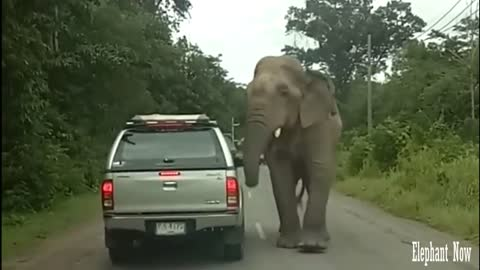 Elephant Destroys The Roof Of A Car Parked On The Road