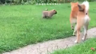 Little Dog Plays Comedy with Another