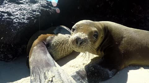 Young sea lion breaks from nursing to investigate camera