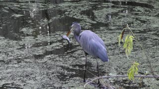 Great Blue Heron with a big cat fish