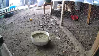 Time lapse chickens