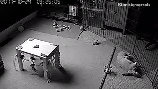 Grey rabbit in cage falls down on security camera