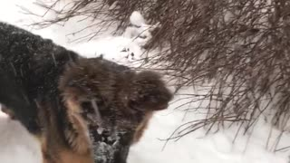 German Shepherd puppy plays in snow for the first time - Video