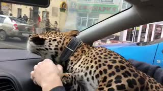 Leopard Takes a Taxi - Video