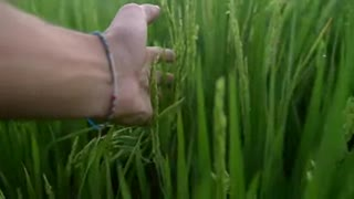 POV Running Hand Through Wheat Field - Video