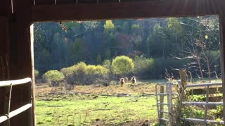 Woman Calls Cows in for Breakfast
