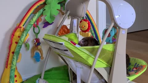 Boxer puppy claims baby swing all to himself