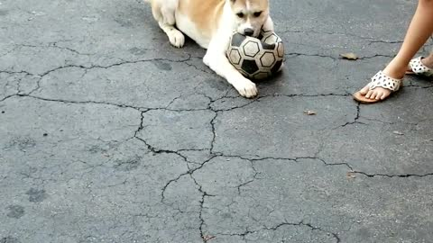 Puppy plays soccer and cheet's at the end