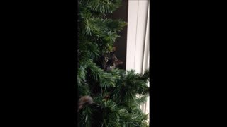 Christmas Tree Cat  - Video