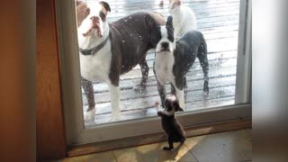 Tiny Puppy Talks Tough To Adult Dogs Outside Patio Door