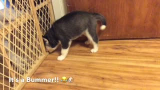 Siberian Husky Puppy Gets a Huge Surprise while Playing with Siblings  - Video