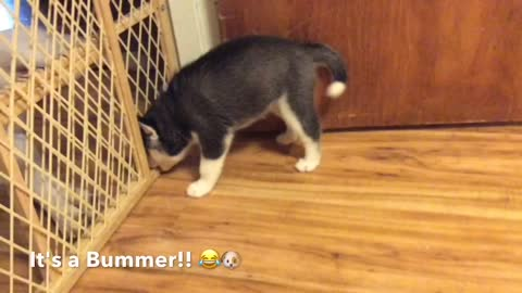 Siberian Husky Puppy Gets a Huge Surprise while Playing with Siblings