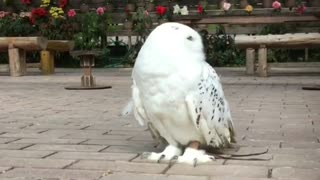 A very Beautiful White Owl