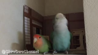 Japanese style room for parrots - Video