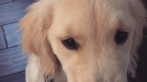 Golden puppy smiles on command