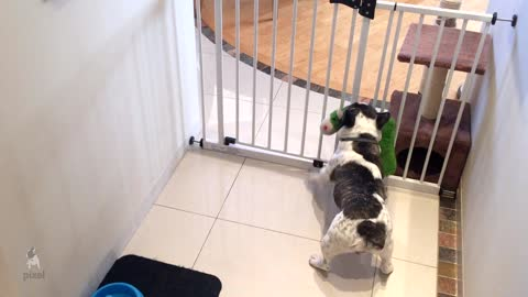 French Bulldog struggles to bring toys through gate