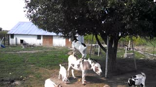 Goat reaches fruit by balancing on a donkey! - Video