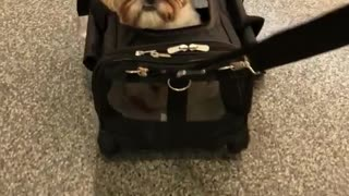 Small white brown dog being pulled in suit case bag on floor
