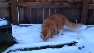 Large orange cat walks through snow for the first time  - Video