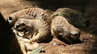 Animal Meerkats enjoy their family time in a burrow