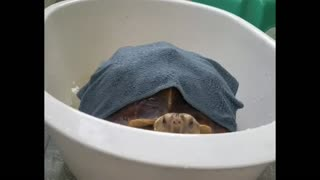 Turtle Trying To get out of The Water Basin