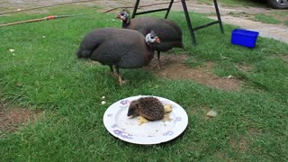 Guinea Fowls join baby hedgehog for lunchtime - Video