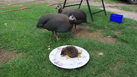 Guinea Fowls join baby hedgehog for lunchtime