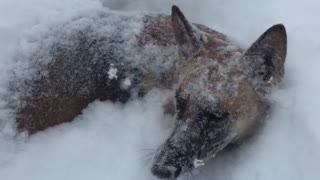 German Shepherd makes the most of blizzard aftermath - Video