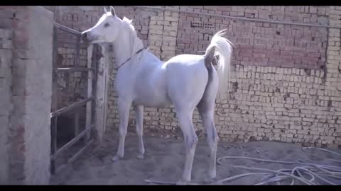 The Best White Arabian Horse