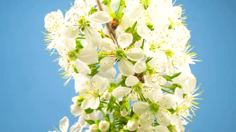 White flowers on a branch blossoming