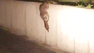 Raccoon Mom And Her Babies Help Each Other Climb Wall - Video